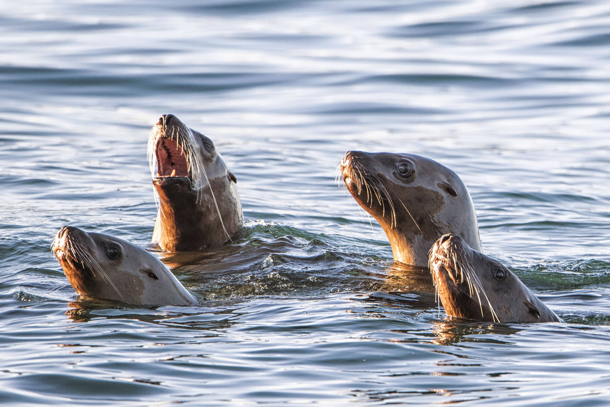 A quartet of Sea Lions off Point Louisa poke their heads above the water on Jan. 27. (Courtesy Photo / Kenneth Gill, gillfoto)