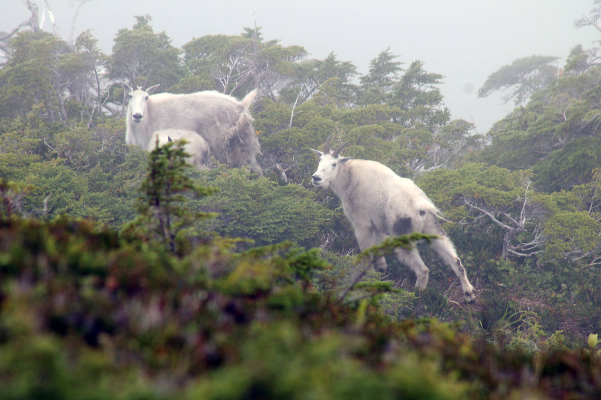 Mountain goats are revered for their majestic qualities, terrain in which they live and their taste. (Jeff Lund / For the Juneau Empire)