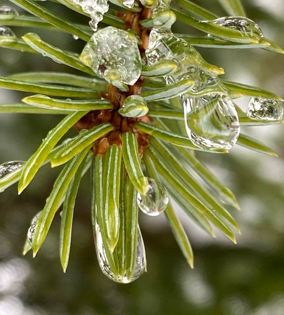 Raindrops freeze on spruce tips in the Dredge Lake area in late February. (Courtesy Photo / Denise Carroll)