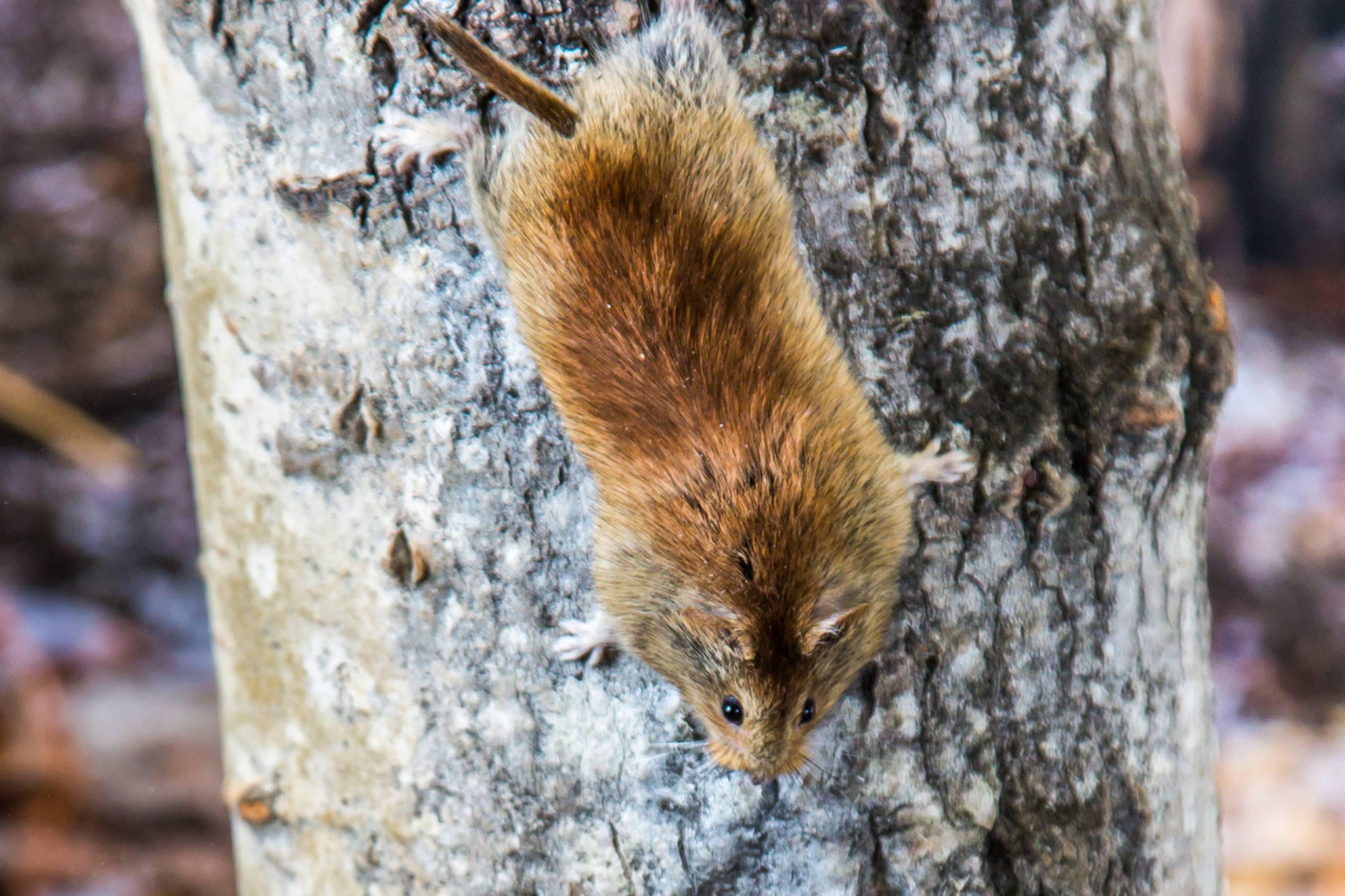 A northern red-backed vole climbing down a tree. (Courtesy Photo / Todd Paris, UAF)