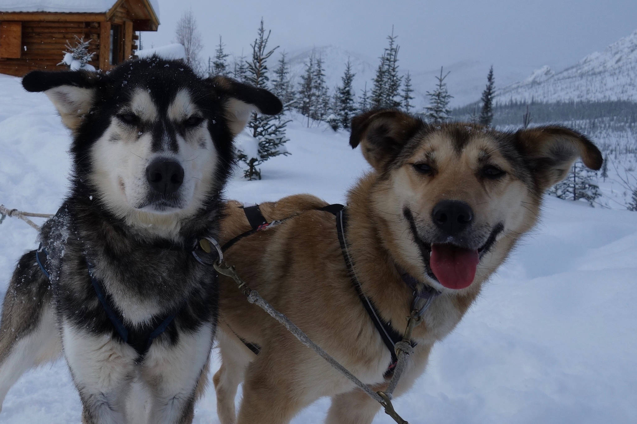 Sled dogs — these two from the team of Cassidy Meyer — seem to only need snow trails and food to keep moving. (Courtesy Photo / Ned Rozell)