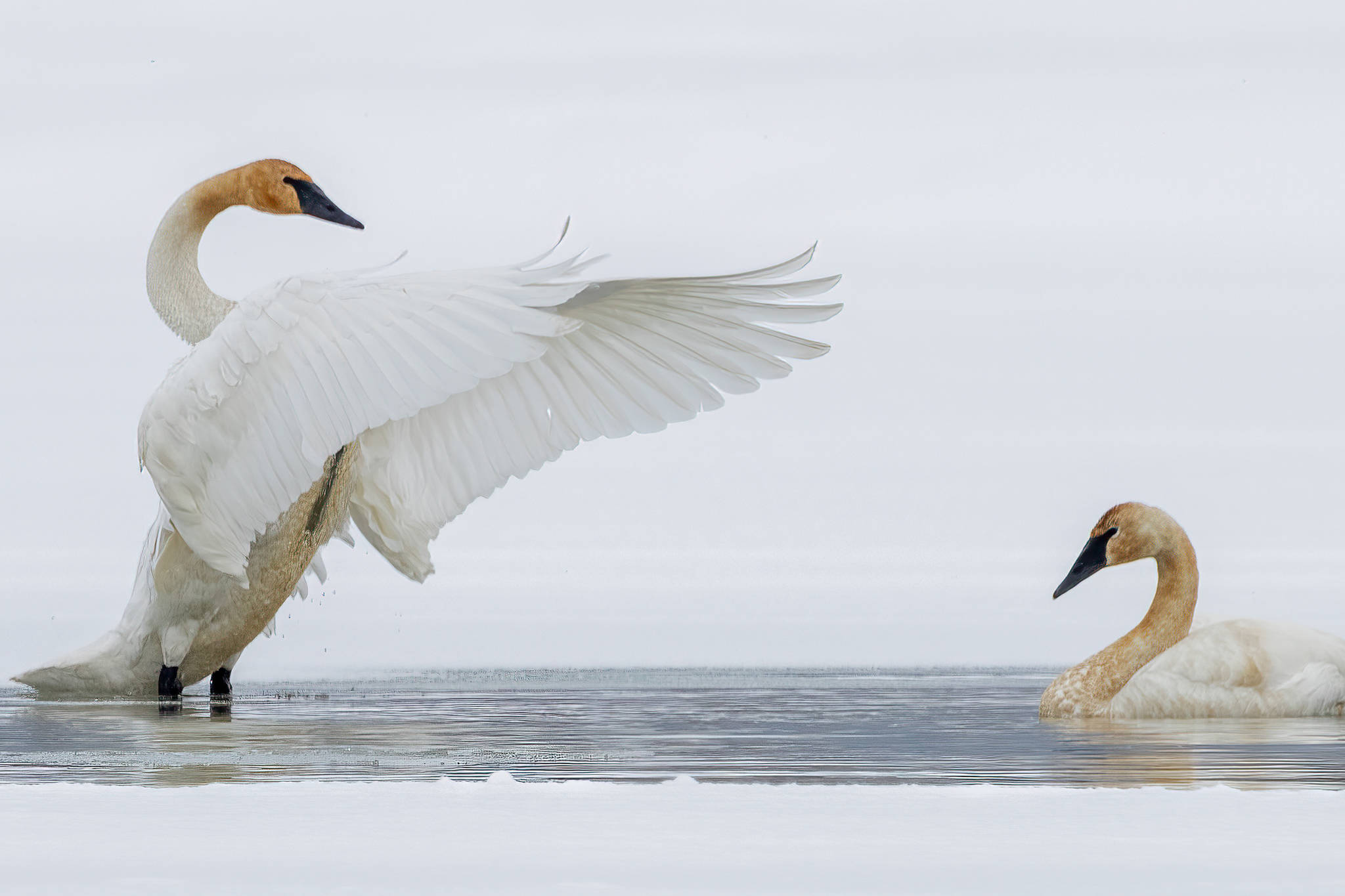 Trumpeter swans also appeared in a small patch of open water on Mendenhall Lake, a few days after equinox. (Courtesy Photo / Kerry Howard)