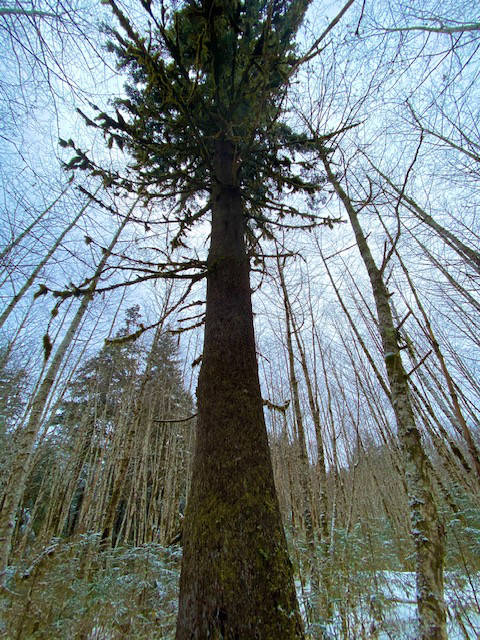 A very tall Sitka spruce towers among slender saplings in Switzer Creek meadow on April 11. (Courtesy Photo / Denise Carroll)