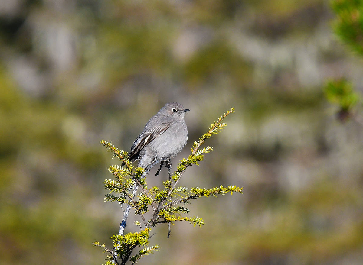 A Townsend's solitaire perches while it waits for a passing insect; its long tail is concealed by the branches. (Courtesy Photo / Mark Schwann)