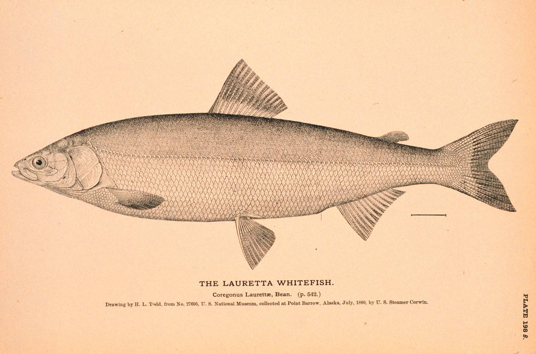 This drawing depicts a Bering cisco, also known as a Lauretta whitefish, created by H.L. Todd in July 1880. (Public Domain Image / The Natural History of Useful Aquatic Animals, NOAA photo library.