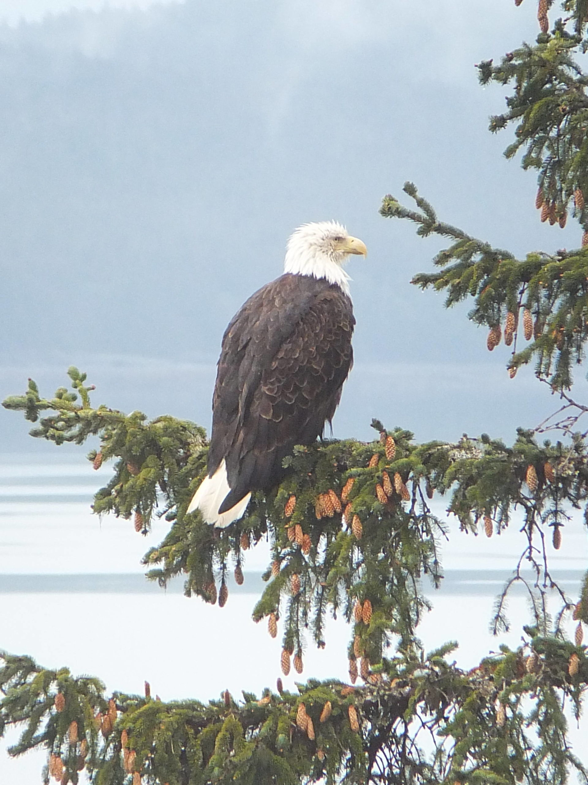 This late May photo shows an eagle is near its nest on the Breadline Bluff Trail. (Courtesy Photo / Gary Miller)