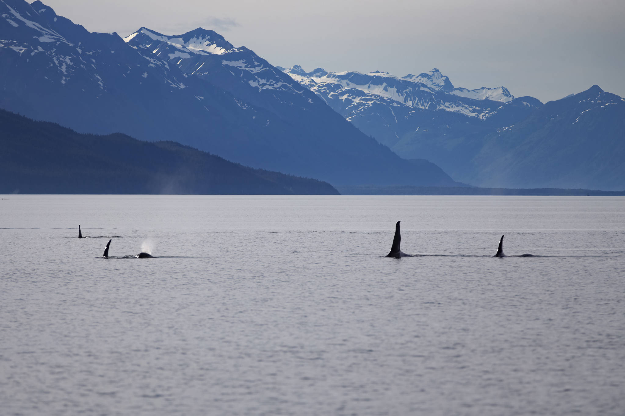 This June 18 photo shows an orca pod. It was taken on the Alaska Fjordlines from Juneau to Haines. (Courtesy Photo / John Riffey)