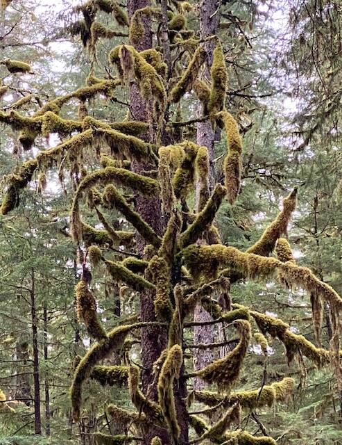 In Juneau's temperate rainforest evergreen trees' branches sport thick coats of moss as seen along Windfall Lake Trail on Sept. 29. (Courtesy Photo / Denise Carroll)