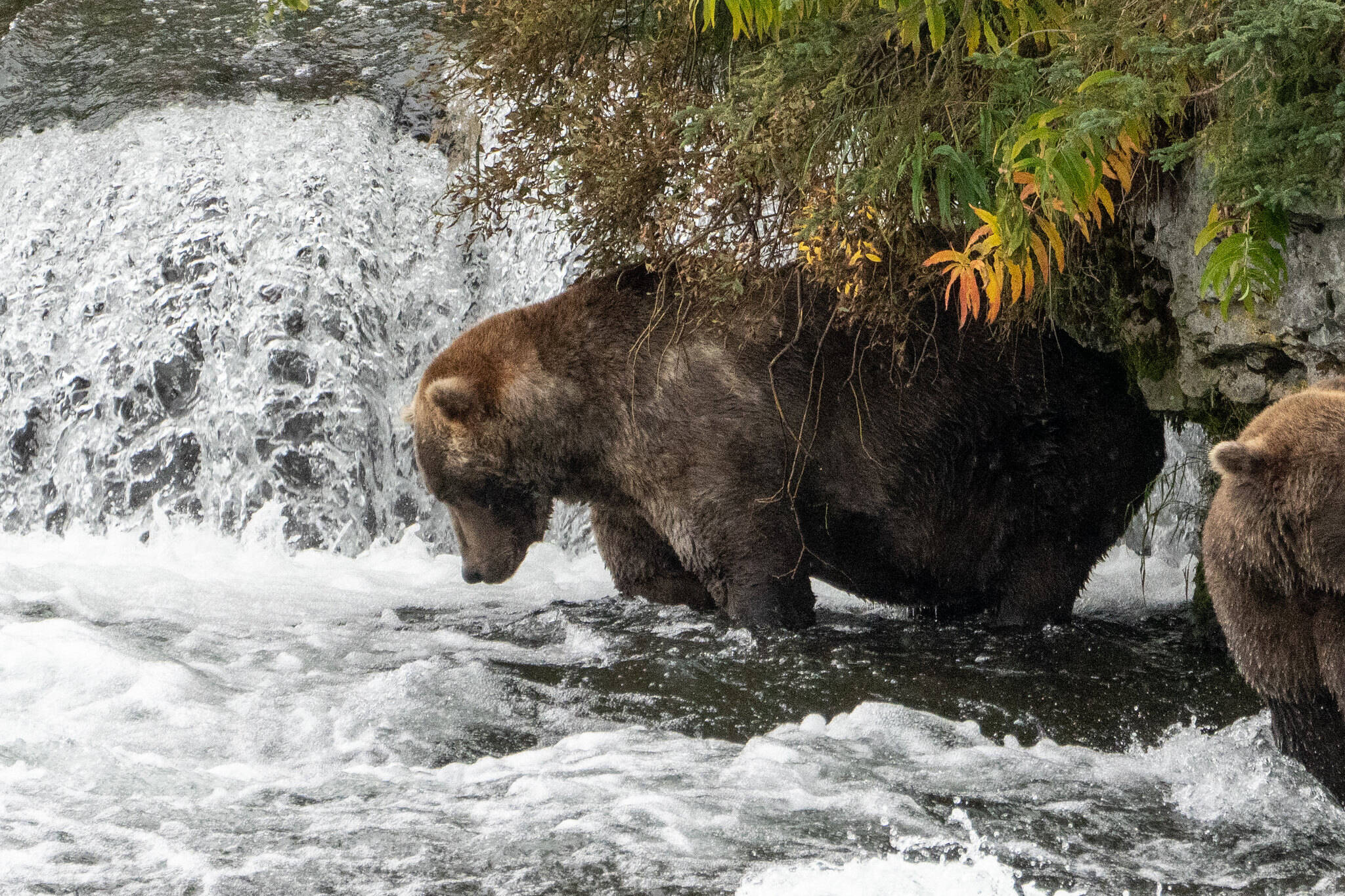 Otis, the four-time Fat Bear Week champion, fishes at Katmai National Park on Sept. 16, 2021. (Photo courtesy of Lian Law, National Parks Service)